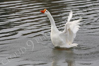 Snow goose 00010 by Peter J Mancus