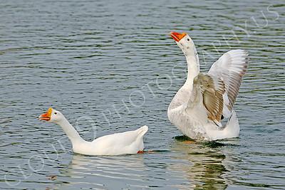 Snow goose 00005 by Peter J Mancus