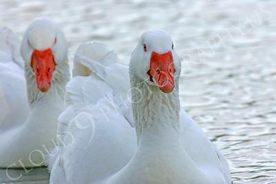Snow goose 00021 by Peter J Mancus