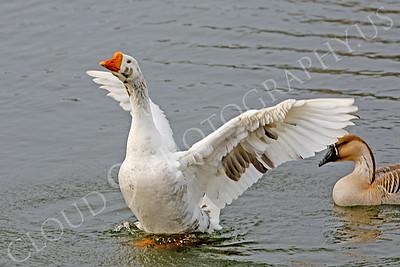 Snow goose 00006 by Peter J Mancus