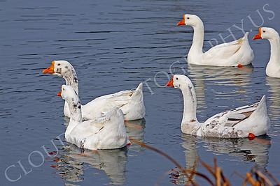 Snow goose 00018 by Peter J Mancus