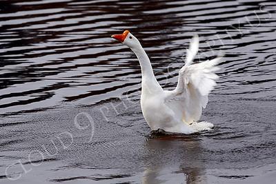 Snow goose 00002 by Peter J Mancus