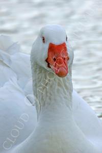 Snow goose 00015 by Peter J Mancus