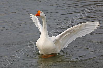 Snow goose 00012 by Peter J Mancus