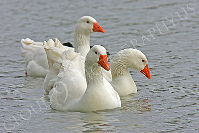 Snow goose 00008 by Peter J Mancus