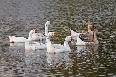 Snow goose 00013 by Peter J Mancus