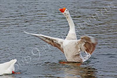 Snow goose 00003 by Peter J Mancus