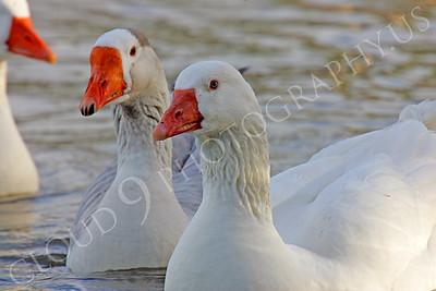 Snow goose 00019 by Peter J Mancus