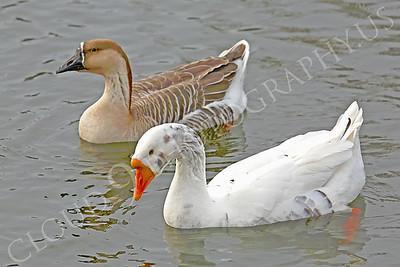 Snow goose 00007 by Peter J Mancus