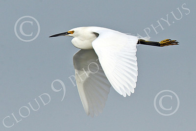 Snowy Egret 00001 A snowy egret flys high above San Francisco Bay 1-2015 wild bird picture by Peter J Mancus