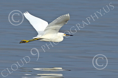 Snowy Egret 00002 A snowy egret flys low over San Francisco Bay 1-2015 wild bird picture by Peter J Mancus
