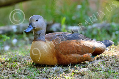 South African Shelduck 00001 A South African shelduck at rest, by Peter J Mancus