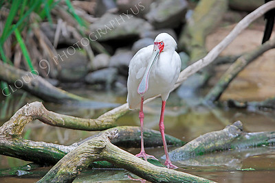 Spoonbill 00002 by Peter J Mancus