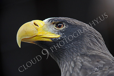 AN-Stellers Sea Eagle 00001 Portrait of a mature Stellers sea eagle by Peter J Mancus