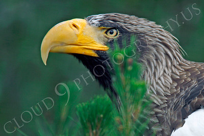 Steller's Sea Eagle 00042 by Peter J Mancus