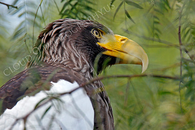 Steller's Sea Eagle 00050 by Peter J Mancus