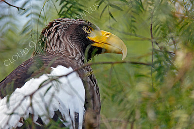 Steller's Sea Eagle 00014 by Peter J Mancus