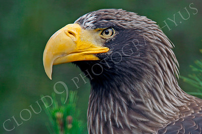 Steller's Sea Eagle 00040 by Peter J Mancus