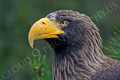 Steller's Sea Eagle 00022 by Peter J Mancus