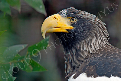 Steller's Sea Eagle 00026 by Peter J Mancus