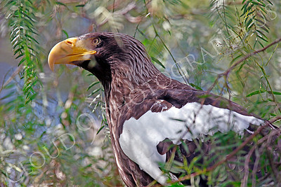 Steller's Sea Eagle 00007 by Peter J Mancus