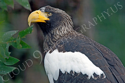 Steller's Sea Eagle 00004 by Peter J Mancus