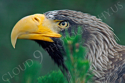 Steller's Sea Eagle 00018 by Peter J Mancus