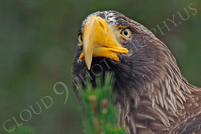 Steller's Sea Eagle 00020 by Peter J Mancus