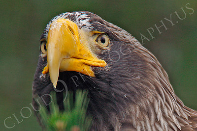 Steller's Sea Eagle 00010 by Peter J Mancus
