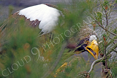 Steller's Sea Eagle 00003 by Peter J Mancus