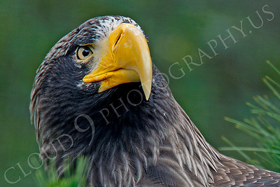 Steller's Sea Eagle 00012 by Peter J Mancus