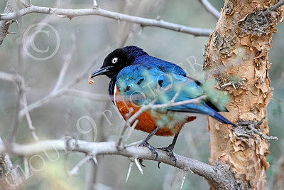 Superb Starling 00001 A colorful superb starling in a tree, by Peter J Mancus