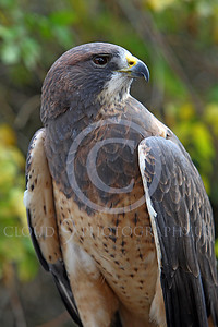 AN-Swainson's Hawk 00002 by Peter J Mancus
