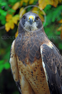 AN-Swainson's Hawk 00001 by Peter J Mancus