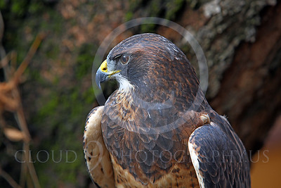 AN-Swainson's Hawk 00003 by Peter J Mancus