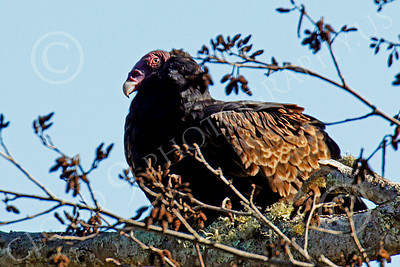 Turkey Vulture 00004 An adult turkey vulture nested on  a tree limb, by Peter J Mancus