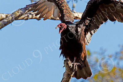 Turkey Vulture 00008 An adult turkey vulture in a tree opens its beak and flaps its wings, by Peter J Mancus