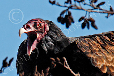 Turkey Vulture 00034 Close up portrait of an adult turkey vulture with its beak open, by Peter J Mancus