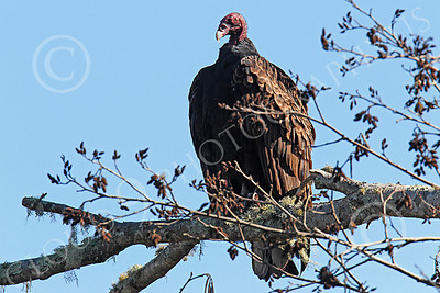 Turkey Vulture 00006 An adult turkey vulture sits in a tree, by Peter J Mancus