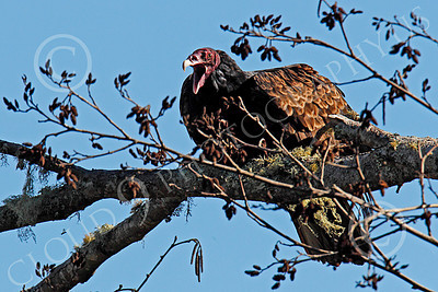 Turkey Vulture 00028 An adult turkey vulture in a tree opens its beak, by Peter J Mancus