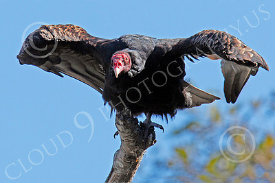 Turkey Vulture 00040 An adult turkey vulture in a tree spreads its wings, by Peter J Mancus
