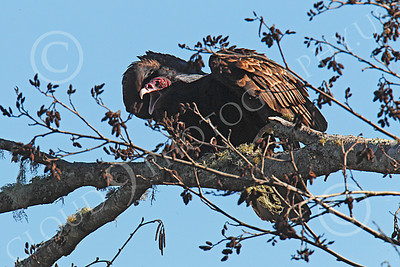 Turkey Vulture 00002 An adult turkey vulture in a tree opens its beak as it begins to spread its wings, by Peter J Mancus