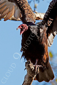 Turkey Vulture 00029 An adult turkey vulture in a tree opens its beak and flaps its wings, by Peter J Mancus
