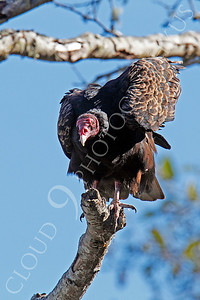 Turkey Vulture 00001 An adult turkey vulture in a tree looks down, by Peter J Mancus