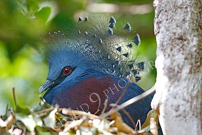Victoria Crowned Pigeon 00001 by Peter J Mancus