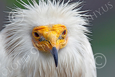 Western Egyptian Vulture 00001 A tight portrait of a western Egyptian vulture's face, by Peter J Mancus