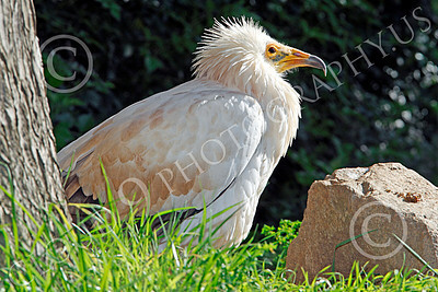 Western Egyptian Vulture 00003 A western Egyptian vulture on the ground, by Peter J Mancus