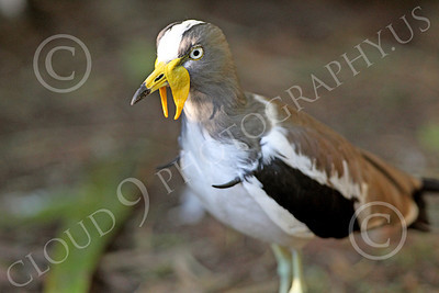 White Headed Lapwing 00001 A standing white headed lapwing, by Peter J Mancus