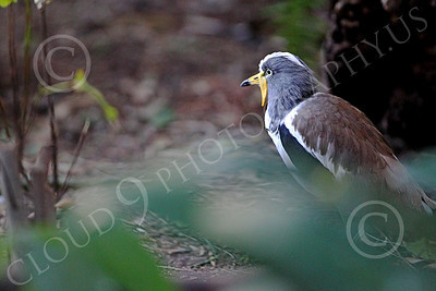 White Headed Lapwing 00002 A standing white headed lapwing, by Peter J Mancus