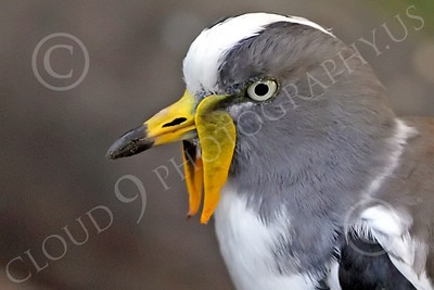White Headed Lapwing 00018 A standing white headed lapwing, by Peter J Mancus